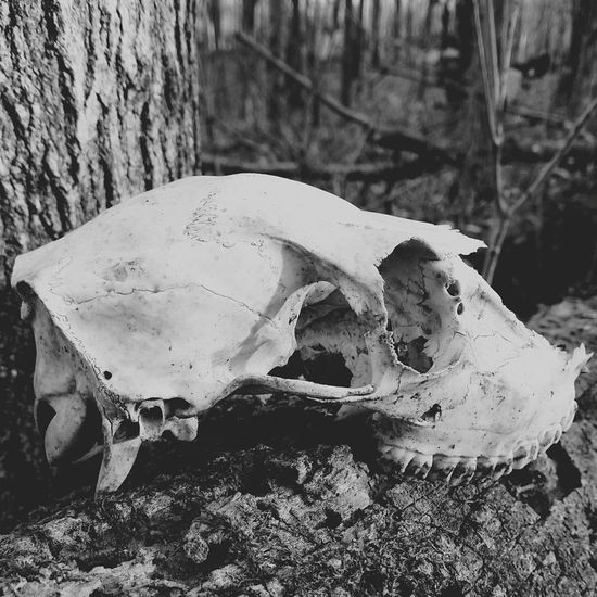 Dead Animal Nature Skull Animal Themes Animals In The Wild Nature One Animal Day Outdoors Forest No People Close-up Beauty In Nature Log Animal Wildlife ArtWork Forestry Industry Black & White