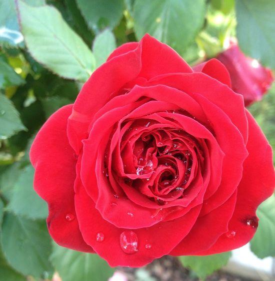 Raindrops on roses. Rosé Flower Spring Nature Raindropsonroses afterrain
