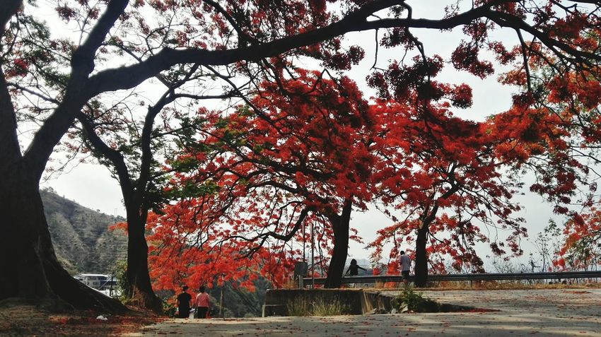 凤凰树系列1 Tree Autumn Branch Leaf Sky