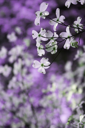 Beauty In Nature Blossom Botany Close-up Dogwood Dogwood Blossom Dogwood Tree Flower Flower Collection Flowers Freshness Growth Nature Petal Purple Scented Springtime Tree White Flower