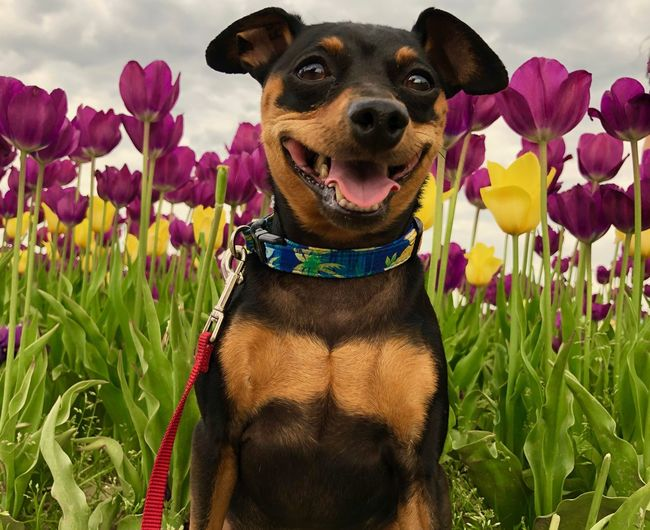 Min Pin Smile in Tulips Tulips🌷 Tulip Flowers Spring Min Pin Min Pin Smile Miniature Pinscher Dog Canine One Animal Domestic Animals Pets Portrait