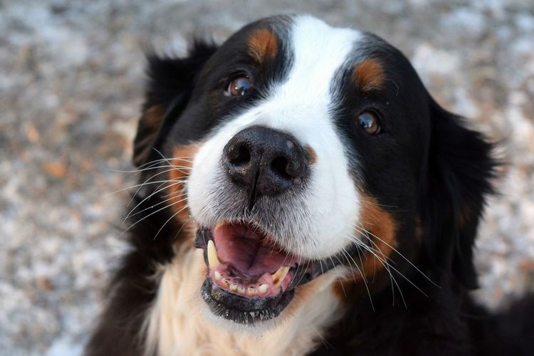 Dog One Animal Berner Sennenhund Animal Themes Pets Domestic Animals Looking At Camera Outdoors Focus On Foreground Dog Of The Day Dogs Of EyeEm Dogs Of Winter Dogwalk Bokeh Petscorner Looking At Camera January 2017 Sunlight Winter 2017 Portrait