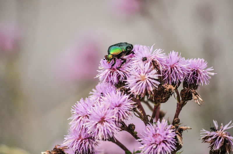 Green Animal Themes Animals In The Wild Beauty In Nature Blooming Close-up Flower Flower Head Flower Scarab Focus On Foreground Fower Chafer Insect Insect Photography Nature One Animal Purple Selective Focus Thistle
