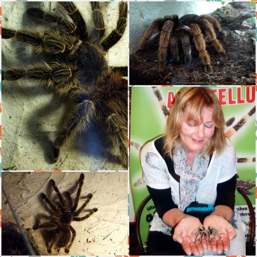 Insects And Spider Exhibition Big Spider+women=spiderwomen😁 big big spiders Vogelspinne Really Big Spider🕷😎 I'm Not Afraid For My Friends 😍😘🎁 Zoom ♡ Close-up