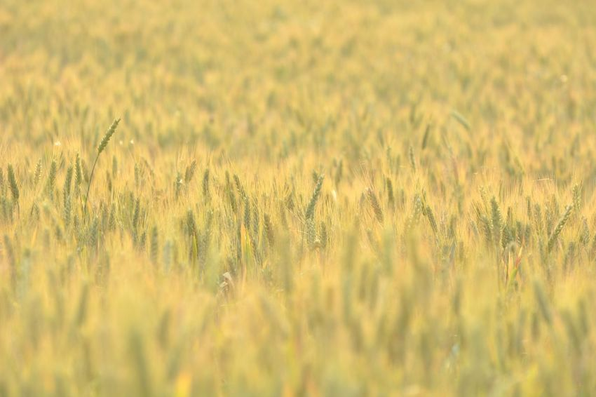 Field Nature Growth Cereal Plant Grass Crop  Agriculture Plant Rural Scene Wheat Outdoors No People Backgrounds Beauty In Nature Sunlight Summer Day Landscape Yellow Sunset Perspectives On Nature