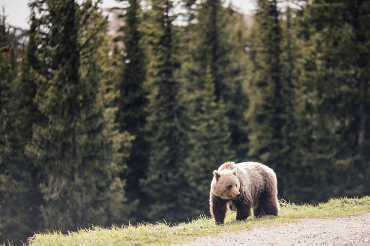 Baby bear in Banff Banff  Banff National Park  Lake Louise,Alberta Animal Animal Themes Animal Wildlife Animals In The Wild Bear Canada Day Forest Nature No People One Animal Plant Tree First Eyeem Photo