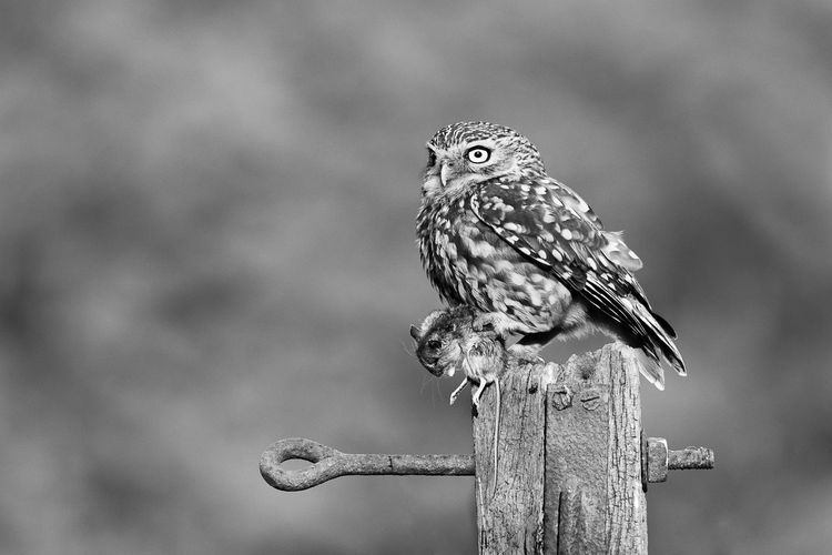 Close-up of owl with mouse perching on wooden post