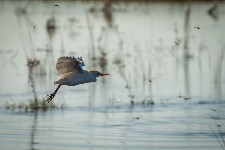 Close-Up Of Cattle Egret Flying Over Pond