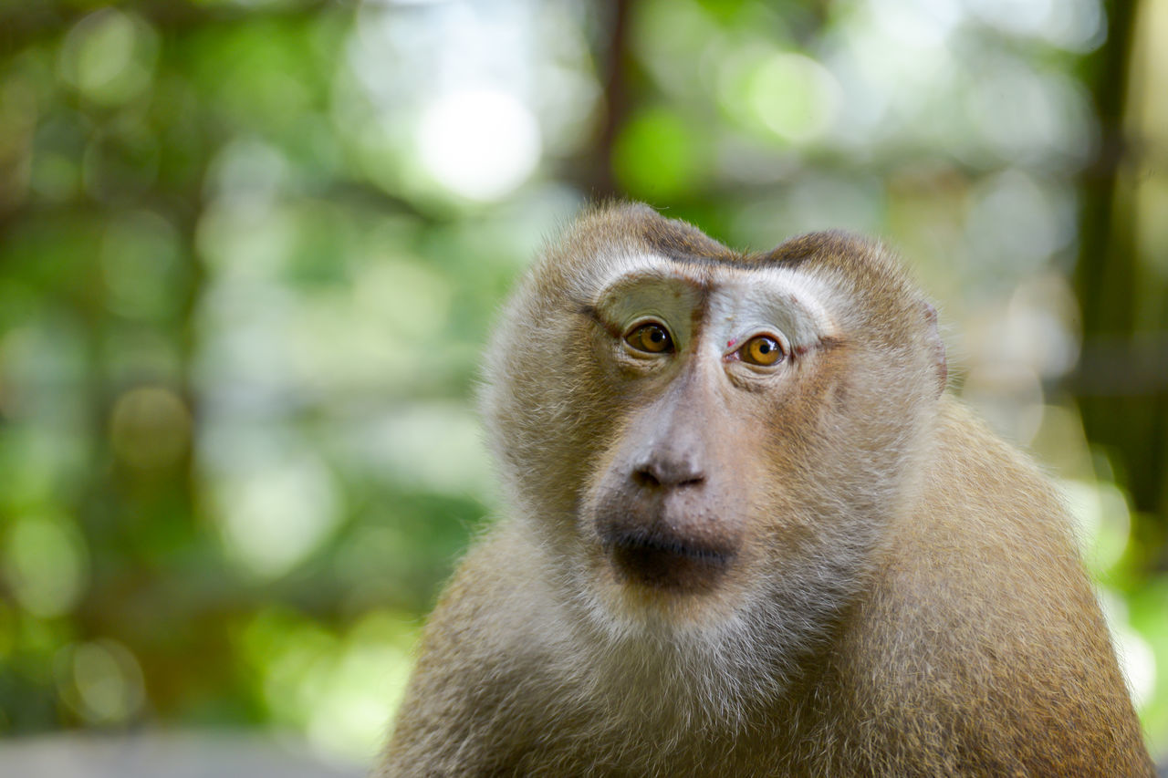primate, animal wildlife, mammal, one animal, animals in the wild, focus on foreground, vertebrate, day, close-up, looking, no people, portrait, looking away, outdoors, nature