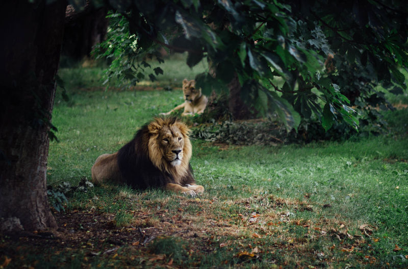 Lions lying on grass at chester zoo