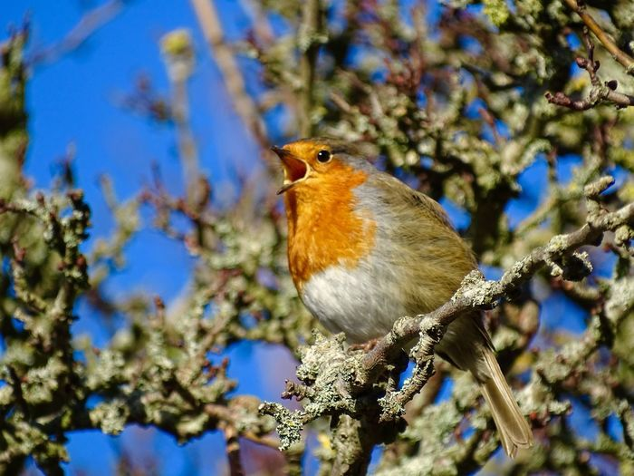 Singing robin in a tree Portsmouth Singing One Animal Bird Animal Themes Animals In The Wild Perching Focus On Foreground No People Animal Wildlife Day Nature Outdoors Close-up Robin Branch Tree Beauty In Nature