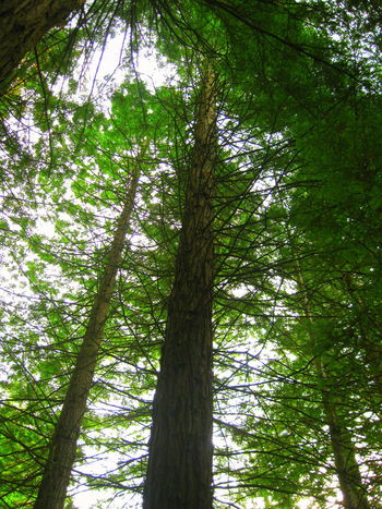 Foliage Plant Forest Forest Photography Greenery Redwood Forest Redwood Park Redwood Trees Redwoods Tall Trees Tree Trunk Tree Trunks View From Below The Great Outdoors With Adobe