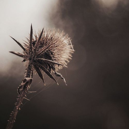 Close-up of thistle against sky at night