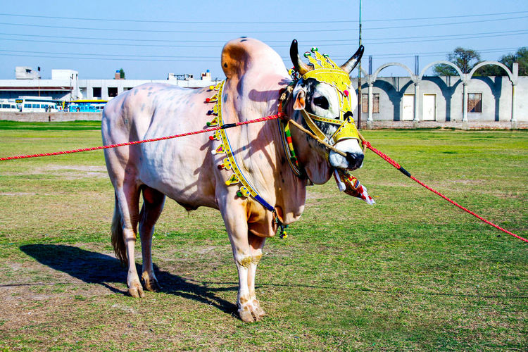 Ox Show in Lahore Iftikhar Lahore Punjab Pakistan Oxford Pakistani Ox 4 Colors Domestic Animals Mammal Domestic Animal Themes Animal Pets Grass Vertebrate Livestock Animal Wildlife Field Day Nature Working Animal Plant Land Horse One Animal Building Exterior Architecture Herbivorous Outdoors Pet Animal Local Ox Village Life Rein Ornament Decoration Sun Famous Ox World Best Ox