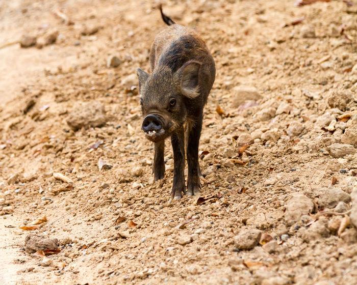 Animal Photography Animals Chiang Mai Night Safari Pig Piglet