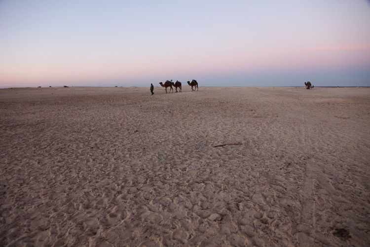 Man with camels at sahara desert against sky during sunrise