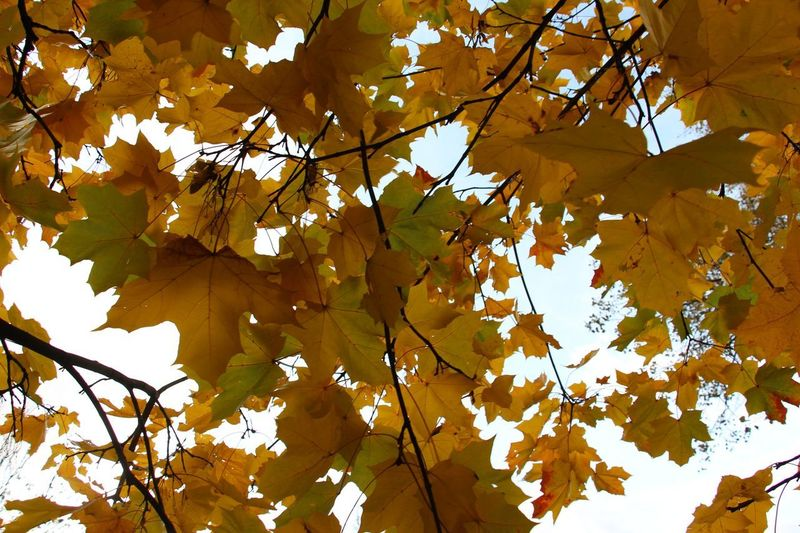 Colors Of Autumn Leaves🌿 Leaves Collection Beauty In Nature Yellow Tree Nature Autumn Leaf Maple Tree Sunlight Plant Part Beauty Close-up Sky Day Outdoors Growth Best EyeEm Shot The Week On EyeEm Trees And Nature Freshness Leaf 🍂 Sunnyday