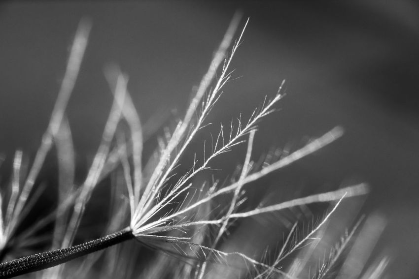 Plant Close-up Growth Nature Beauty In Nature Selective Focus Crop  Outdoors Day Tranquility Stalk Fragility Seed Seeds Dandelion Reproduction Plant Part Macro Macro Nature Blackandwhite Black And White Delicate Fine Art Photography Monochrome Magnification A New Perspective On Life