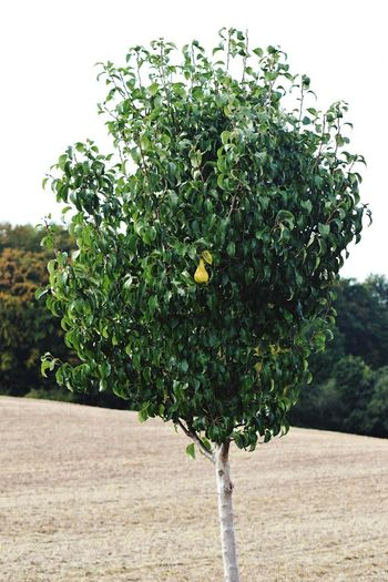 One Pear Plant Growth Tree Nature Fruit Day Healthy Eating Green Color No People Sky Freshness Beauty In Nature Food Fruit Tree Outdoors Field