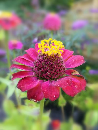 Flower Flower Head Zinnia  Flower Pink Color Yellow Petal Multi Colored Close-up Plant Blooming Eastern Purple Coneflower Plant Life Botanical Garden In Bloom