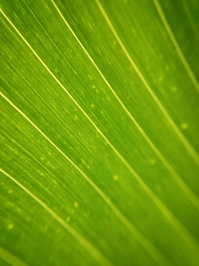 Corn Detail Close-up Diagonal Texture Green Color Backgrounds Leaf Full Frame Plant Part No People Close-up Nature Pattern Leaf Vein Textured  Natural Pattern Banana Leaf Palm Leaf Leaves Beauty In Nature Plant Growth Day Outdoors