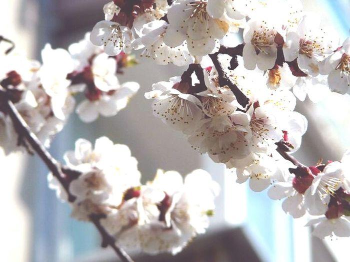 Spring Flowers Sakura Ew Check This Out Hello World I'm Not OK Enjoying Life sring is coming !!🐣☀🌈