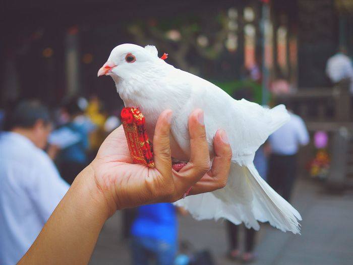 Cropped image of hand holding dove on street