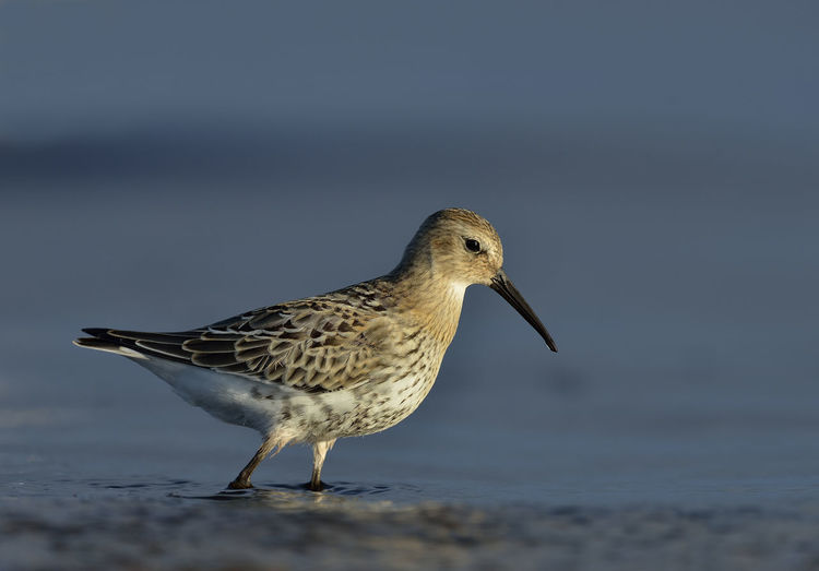 Fågel Nature Photography Nikon Wildlife & Nature Animal Animal Themes Animal Wildlife Animals In The Wild Beach Bird Blue Dunlin Dunlins Nature No People One Animal Sea Seabird Seabirds Sun Sunset Vadare Water Wild Wildlife