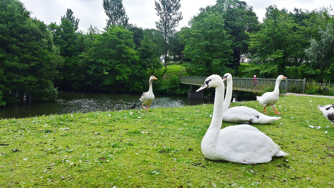 animal themes, bird, animals in the wild, swan, lake, nature, tree, water, day, green color, animal wildlife, growth, outdoors, grass, no people, water bird, cygnet, togetherness, beauty in nature, sky