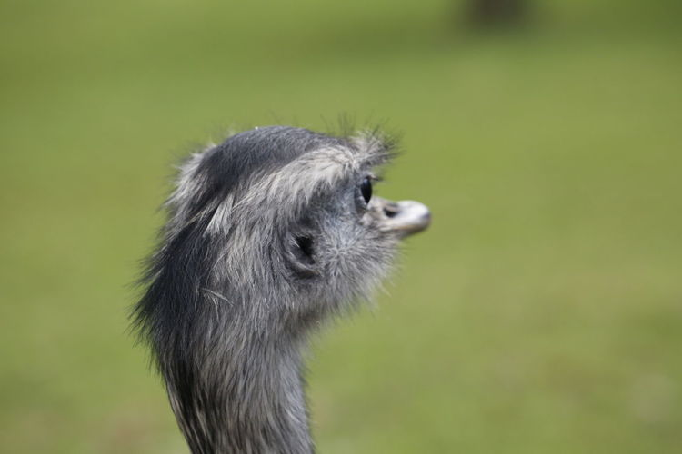 Cute Face 17.62° Cute Animals 3XPUnity Taking Photos Beautiful Nature Nature Birds Of EyeEm  Ostrich Ostrich Face Bird Photography Animal Photography Animal Portrait Portrait Bird Profile View Cute Close-up Animal Body Part Animal Hair Beak