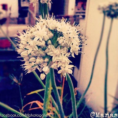 Pyaaz_k_phool White_beauty Mphotography