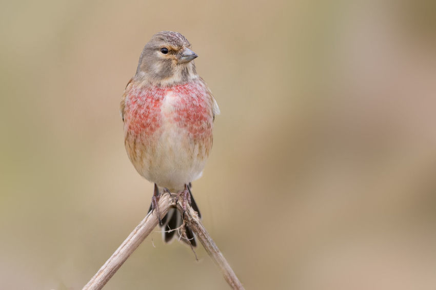 Carduelis Cannabina Hänfling Linotte Mélodieuse Pardillo Común Animal Themes Animal Wildlife Animals In The Wild Beauty In Nature Bird Day Linnet Male Breeding Plumage Nature No People One Animal Outdoors Perching Red