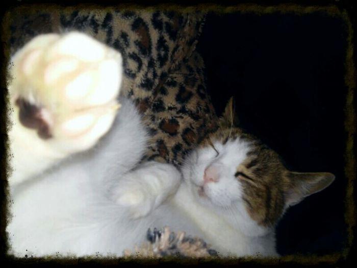 Sweet Dreams Cat Pussycat Warm Blanket Sogni Dormire Calda Coperta
