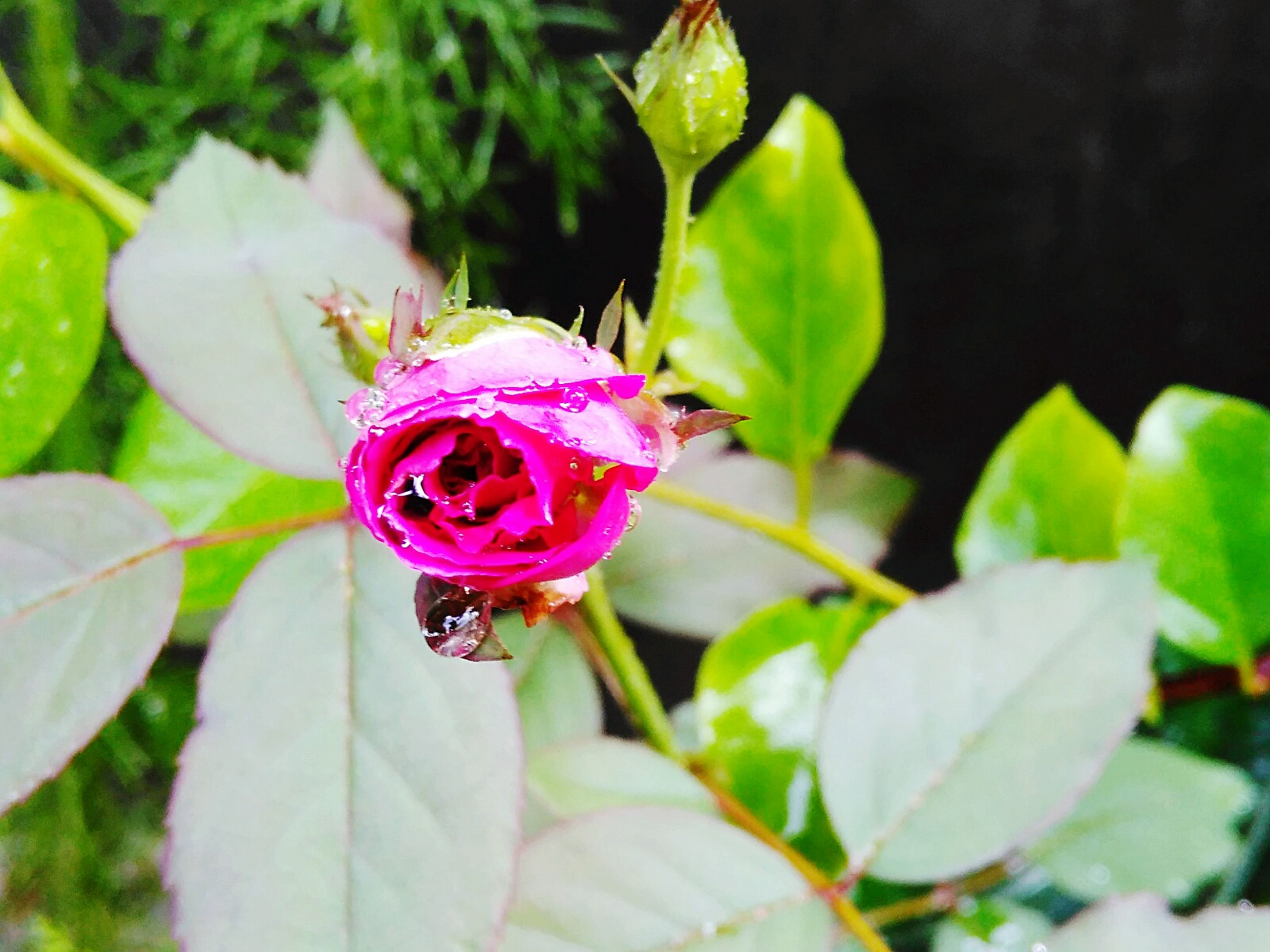 flower, freshness, petal, fragility, growth, flower head, pink color, close-up, beauty in nature, leaf, plant, insect, nature, focus on foreground, one animal, single flower, green color, blooming, bud, animals in the wild