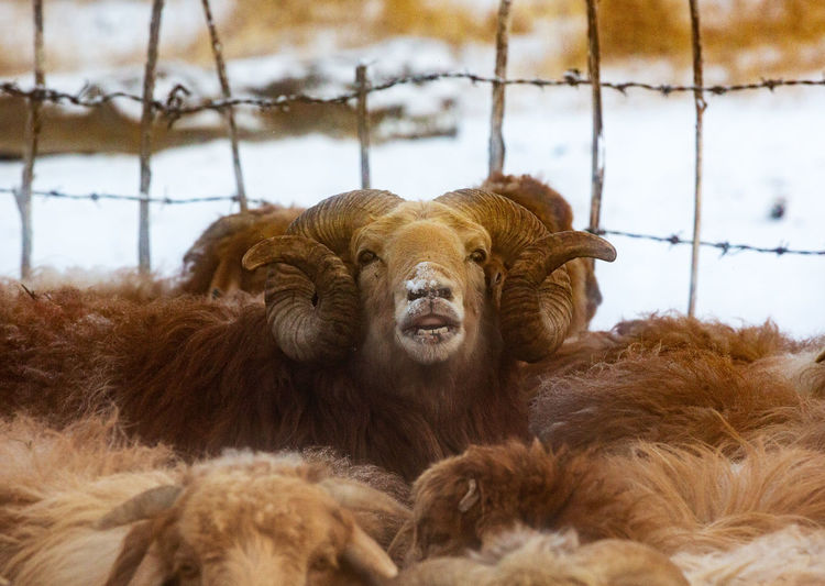 Mammal Animal Themes Animal Group Of Animals Vertebrate Domestic Animals Livestock Pets Brown No People Domestic Day Focus On Foreground Relaxation Cattle Fence Close-up Portrait Animal Family Fur Tibetan Bharal Blue Sheep Horn Winter Tibet Tibet Travel