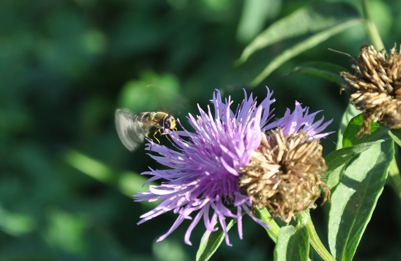 Flower Head Flower Thistle Perching Pollination Bee Butterfly - Insect Insect Petal Purple