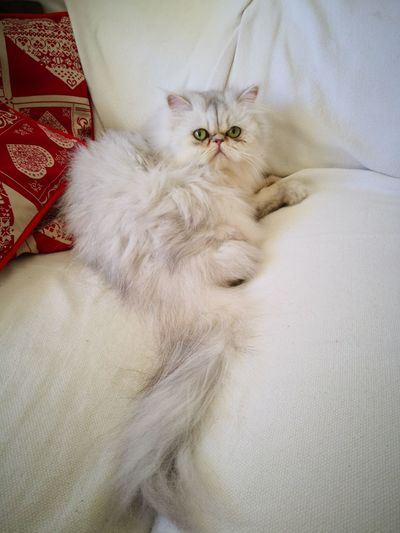 Charlotte Charlotte Cat Animals Chinchilla Persian Cat  Pets Kitten Bedroom Feline Portrait Domestic Cat Looking At Camera Bed High Angle View Cat Whisker At Home Home Domestic Animals