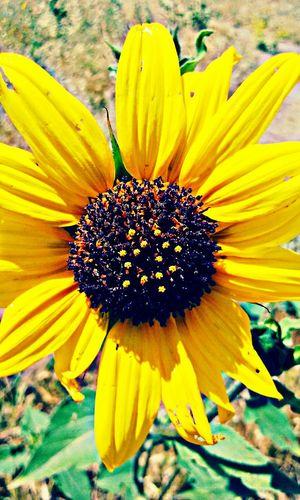 Just sunflowers... Sobeautiful Beautiful Nature LoveMyWork GranadaHills Greatendurance Lovetohike Photography Photooftheday Sunflowers🌻 MyPhotography