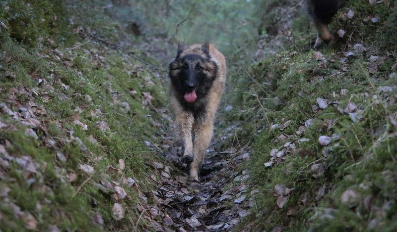 Belgian Tervueren Finland Lapland Scandinavia Animal Teeth Belgian Shepherd Canine Day Dog Land Mouth Open Nature No People One Animal Outdoors Pets Portrait
