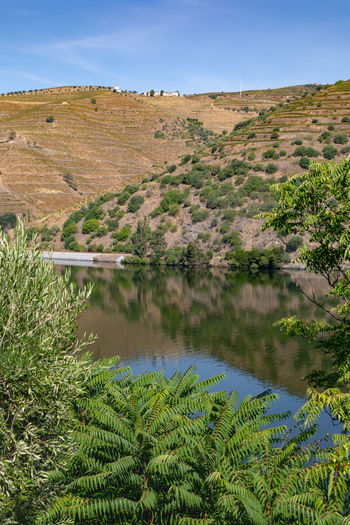 Douro river with vineyards in surrounding valley Douro  Hills Portugal Arid Climate Beauty In Nature Day Environment Green Color Growth Lake Land Landscape Nature No People Non-urban Scene Plant Reflection Riverbank Scenics - Nature Sky Tranquil Scene Tranquility Tree Vineyard Water