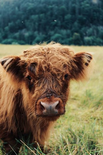 Portrait of a cow on field