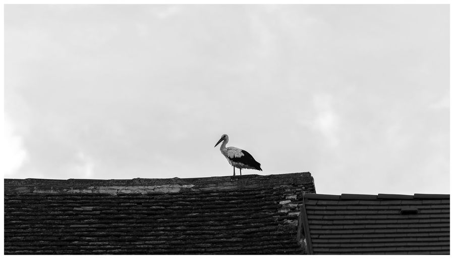 Stork On The Roof Animal Themes Animal Wildlife Animals In The Wild Architecture Bird Black And White Photography Built Structure Cloud - Sky Day Low Angle View monochrome photography Nature No People One Animal Outdoors Roof Roof Tile Sky Stork