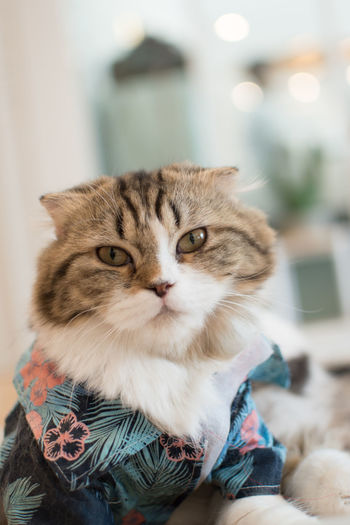 Animal Themes Pets Domestic Animal Mammal Domestic Animals One Animal Domestic Cat Cat Vertebrate Feline Focus On Foreground Indoors  Portrait No People Close-up Looking At Camera Relaxation Looking Home Interior Whisker Animal Head