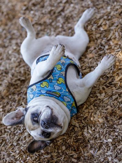 High angle portrait of dog lying on floor