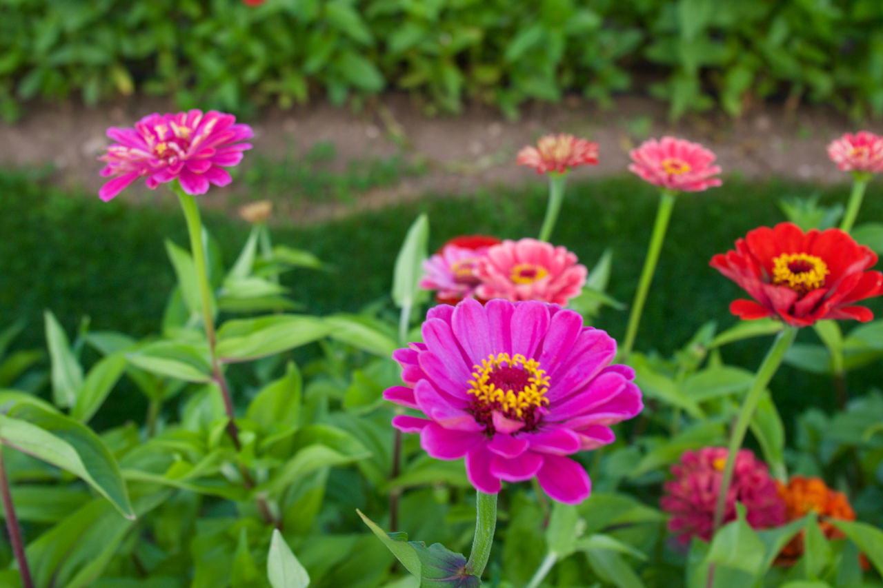 flower, growth, petal, beauty in nature, plant, nature, blooming, flower head, fragility, pink color, freshness, no people, outdoors, zinnia, green color, leaf, day, field, close-up, eastern purple coneflower