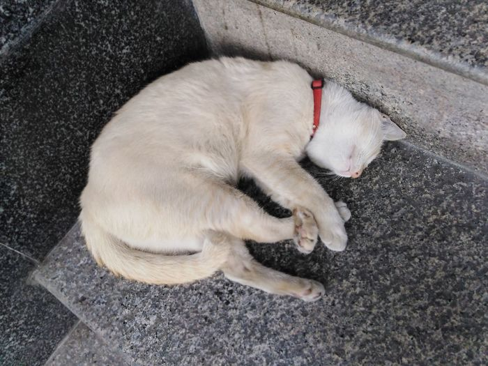 thai cat sleeping on stair Animal Pets Pet Mammal Thai Cat White Cat Stairs Concrete Stairs Sleeping Sleeping Cat Pets Domestic Cat Lying Down Sleeping Yawning Relaxation High Angle View Cat
