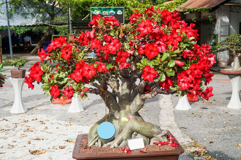 Adenium tree close up with for decoration Adenium Flower Adenium Flowers Adenium Obesum Adenium Tree Adenium Adenium Garden Adeniumflowers Adeniumlover Adeniumobesum Adeniums Day Outdoors