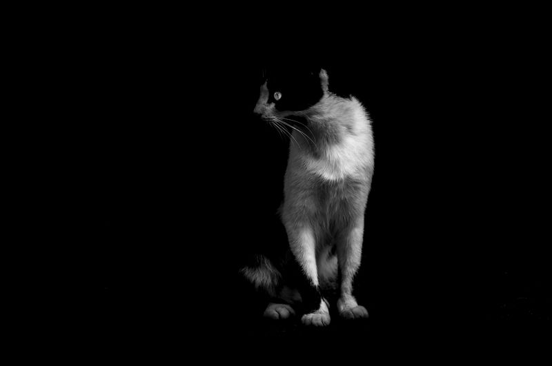Cat sitting on black background