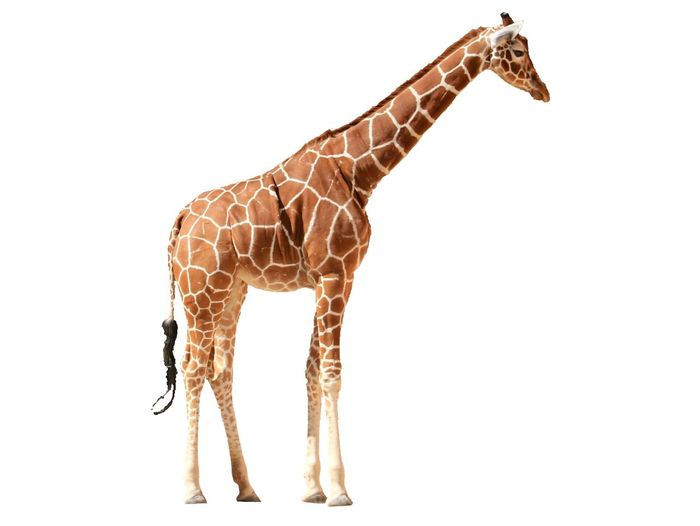 Giraffes Giraffe Cut Out White Background Giraffe Mammal One Animal Animal Wildlife White Background No People Studio Shot Cut Out Animal Body Part Vertebrate Copy Space Indoors  Standing Domestic Animals Representation Full Length Herbivorous