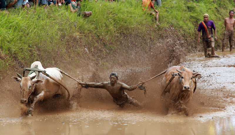 Local Gather Cow Race Pacu Jawi' in West Sumatra - Photo Story Day Grass Herbivorous Leisure Activity Lifestyles Mammal Medium Group Of Animals Motion Nature Outdoors Pacu Jawi Running The Photojournalist - 2016 EyeEm Awards Water Need For Speed